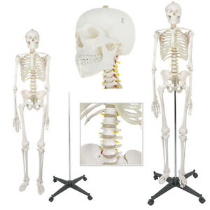 Life Size Human Body Anatomical Anatomy Skeleton Medical School Model Stand