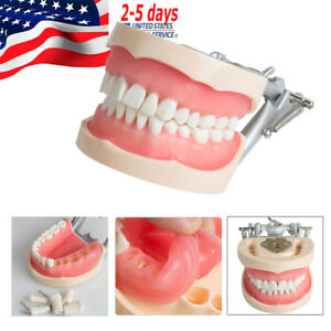 Dental Universal Adult Removable Teeth Tooth Model Gingival Retraction Practice