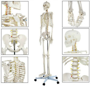 Large Life Size Anatomical Human Skeleton Medical Model W Rolling Stand 70 8