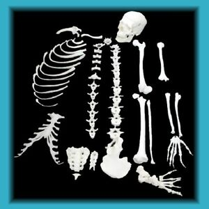 Anatomy Model Skeleton Half Disarticulated hdsk505 Medical Education