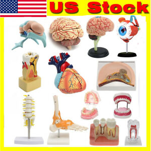 4d Human Part Torso Brain Heart Eye Tooth Anatomy Body Anatomical Teaching Model
