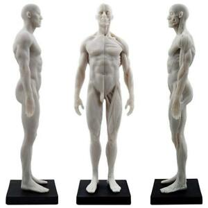 30cm Human Male Body Muscle Skeleton Anatomical Model For Study And Teaching