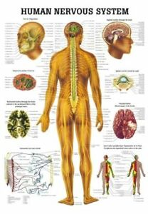 Anatomical Worldwide Ch05 The Human Nervous System Laminated Anatomy Chart