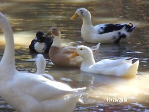12 Duck Goose Hatching Eggs Pekin Khaki Campbell Welch Runner Mallard ancona
