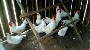 12 White Bresse Chicken Hatching Eggs Npip free Shipping