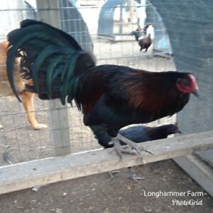 6 Pure Longhammer Bama Sport Bamboo Blacks Poultry Chicken Hatching Eggs