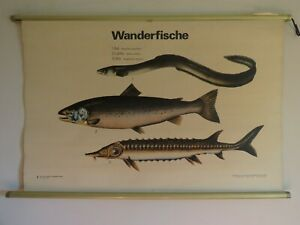 Vintage School Chart Of Eel Salmon Sturgeon Educational Wall Chart Fish Poster