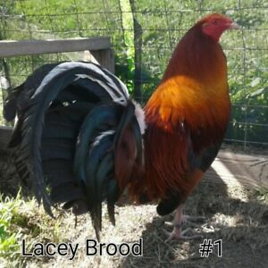 6 Pure Longhammer Roundheads Poultry Chicken Hatching Eggs