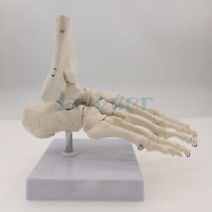 Life Size Foot And Ankle Joint Functional Anatomical Skeleton Model Medical