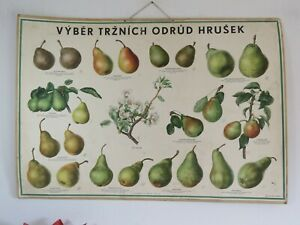 Vintage Czech School Chart Of Pears Botanical Wall Chart On Card 1960 Fruit