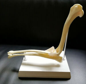 New Canine Elbow Anatomical Skeleton Model Veterinary Anatomy Dog 1pcs