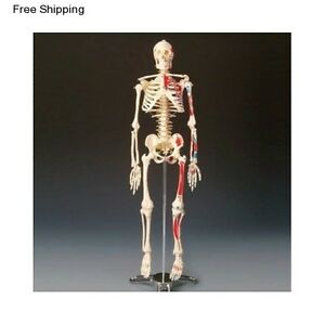 Human Body Anatomical Skeleton Model Anatomy Medical Bone Skull Education Stand