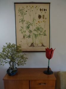 Beautiful Vintage Czech Botanical Chart Of A Buttercup Plant 1950s