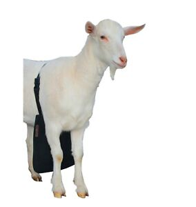 Urine Scald Odor Control Olor Buck Apron For Goats sheep X small