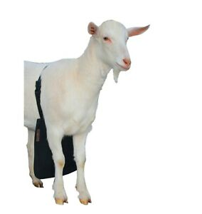 Urine Scald Odor Control Olor Buck Apron With Strap For Goats sheep Small