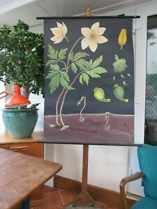 Vintage Anemone School Chart By Jung Koch Quentell Poster Botanical Wall Hanging