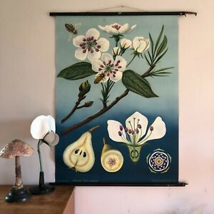 Vintage Rare Pear School Chart Jung Koch Quentell Botanical 1950 Wall Hanging