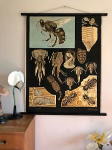 Vintage Honey Bee School Chart By Jung Koch Quentell Poster Lithograph Anatomy