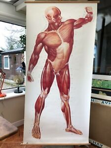 Vintage Full Body Muscles Educational Medical School Chart Anatomy Musculature