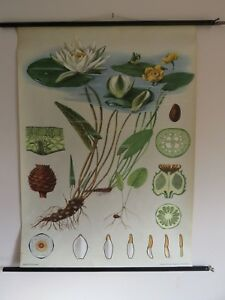 Vintage Water Lily School Chart Jung Koch Quentell Roll Down Botanical Hanging