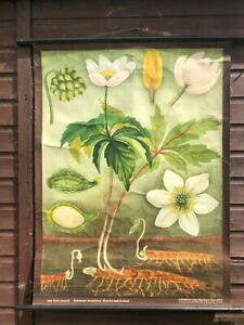 Rare Vintage Wood Anemone School Chart By Jung Koch Quentell Botanical Poster