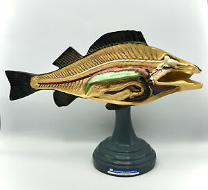 Rare Vintage Sargent welch Scientific Co Perch Anatomy Model Fish Hand Painted