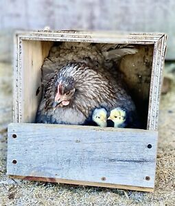 Chicken Hatching Eggs 12 Rare And Heritage Mixed Breed Rainbow Fresh And Fertile