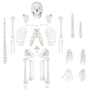 Disarticulated Human Skeleton Model For Anatomy Life Sized Anatomical Model 23 3