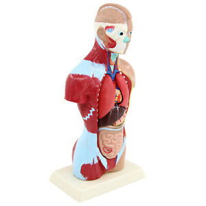 Human Human Anatomy Model Removable Student Learning Child Teaching Teach
