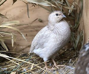 15 Assorted Color Coturnix Quail Hatching Eggs Blue Eggs Included Npip Clean