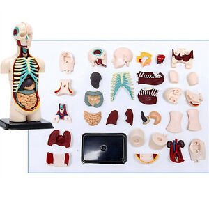 3d Mine Child Science Toy Human Anatomy Model Human Torso Assembly Viscera Model