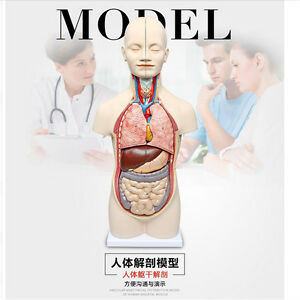 3d Human Anatomy Model Human Torso Assembly Model Visceral Anatomical Model