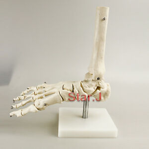 Life Size Human Skeleton Foot Ankle Joint Anatomical Anatomy Medical Model