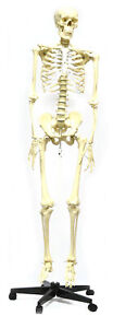 Life Sized Human Skeleton Model 62 Height Articulated Joints Pelvic Mounted
