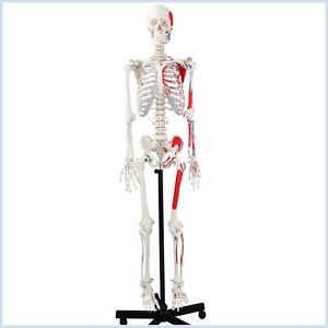 Anatomical Human Skeleton Model Muscular Painted Numbered 170cm W nerves