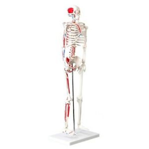 Muscular Skeleton Model 1 2 Life Size 85cm 33 5 Inches Muscle Painted New