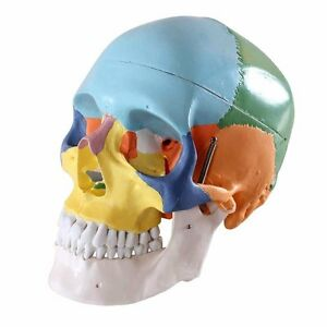 Human 1 1 Size Skull With Colored Bone Joint Simulation Model Medical Anatomy