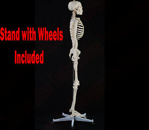 Flexible Human Skeletal Anatomy Model Teaching Skeleton Bone Skull