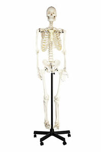 Eisco Labs Life Sized Human Skeleton Model 62 Height Articulated Joints