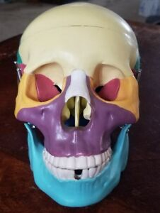 Human Skull Model Anatomical Anatomy Skeleton Medical Colored Bones