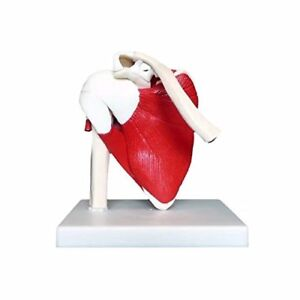Anatomical Advanced Muscled Shoulder Joint Model Medical Anatomy Skeleton