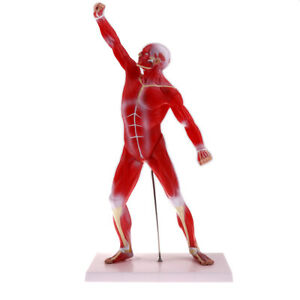 1 4 Scale Human Superficial Muscle Torso Body Anatomical Model Lab Ornament