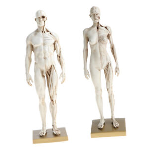 11 Male Female Muscle Skeleton Anatomy Model Human Anatomical Model White