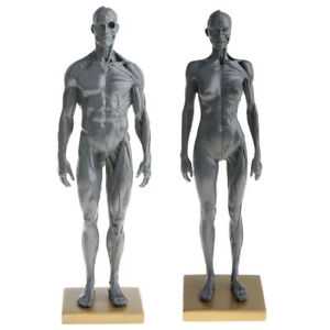 11 Male Female Muscle Skeleton Anatomy Model Human Anatomical Model Gray