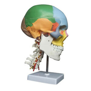 Human Anatomy Skeleton Anatomical Model With Colored Bones Cervical Vertebra