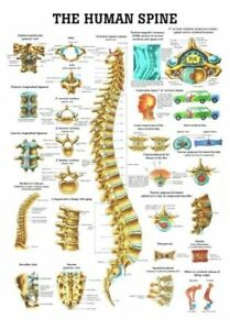 Anatomical Worldwide Ch07 The Human Spine Laminated Anatomy Chart