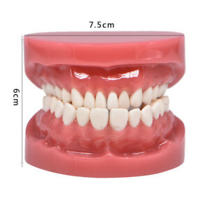 Dental Adult Standard Teeth Model Study Teach 1 1 Tooth Upper Lower Jaw 7004