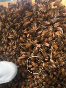 Mated Queen Bee Live Bees Pre Order Shipping March April 2019