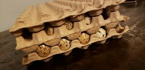 15 Moulded Paper Quail Egg Tray 7 x13 Holds 50 Eggs Up To Jumbo Brown Coturnix