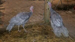 8 Fertile Blue Slate Turkey Hatching Eggs